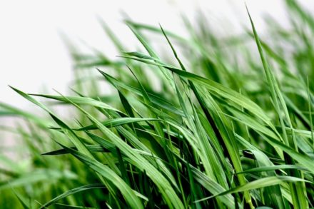 Identifying Common Weeds in Lawns