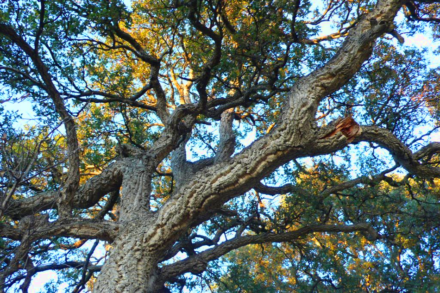 Amazing Cork Oaks And How To Save Them